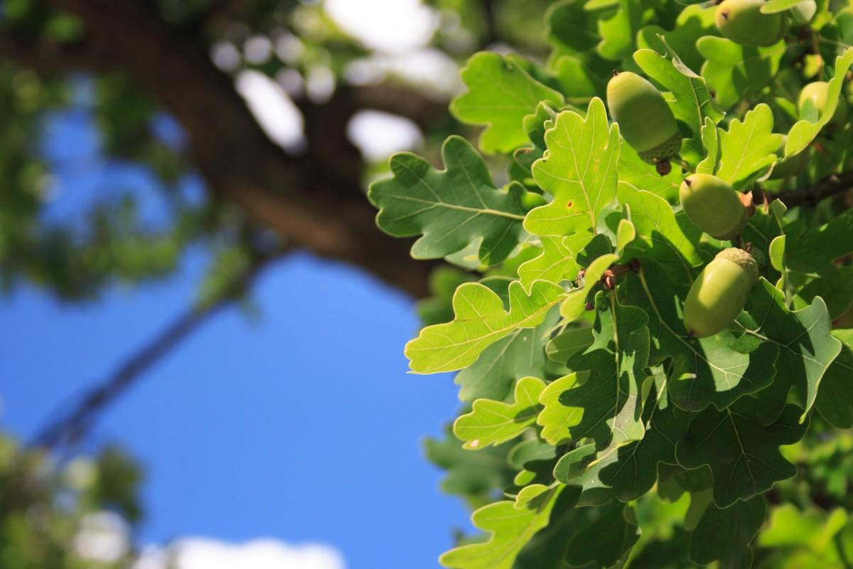 предприятие применяет фото дубовых деревьев его словам, телеведущий